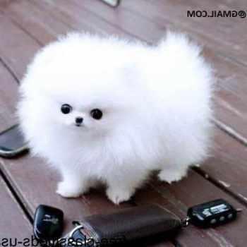 Free Pomeranian Puppies For Adoption