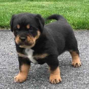 Free Rottweiler Puppies For Adoption