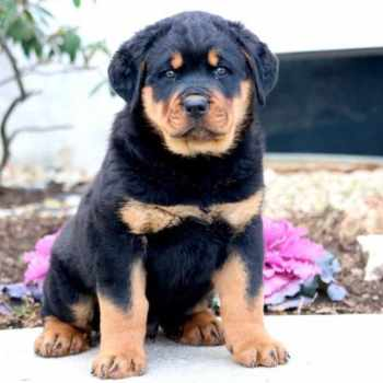 Free Rottweiler Puppies In Pa