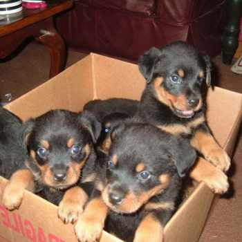 Free Rottweiler Puppies Near Me