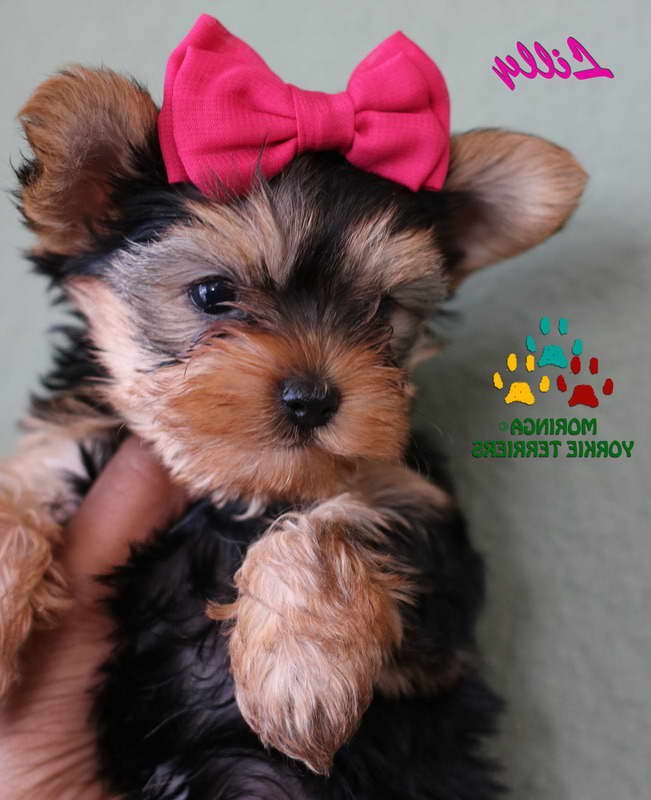 Free Yorkshire Terrier Puppies For Adoption