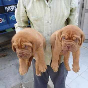 French Bull Mastiff Puppies For Sale