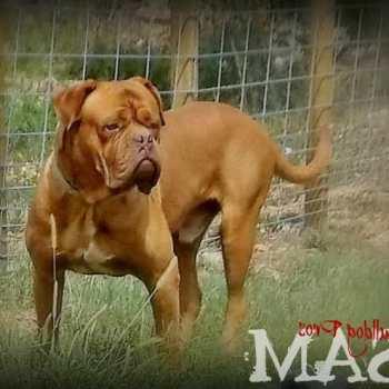 French Mastiff Akc