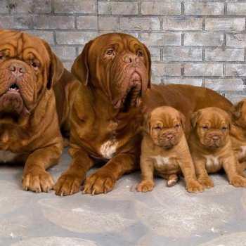 French Mastiff Puppies For Adoption