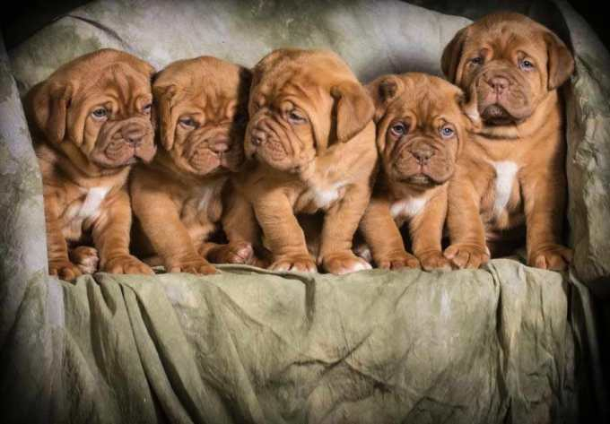 French Mastiff Puppies For Sale In Florida