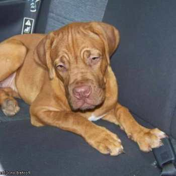 French Mastiff Puppies For Sale In Louisiana