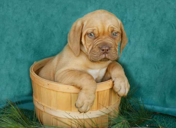 French Mastiff Puppies For Sale Ny