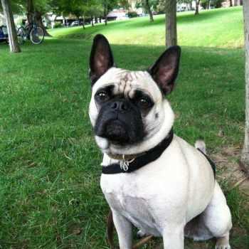Frenchie Pug Adoption