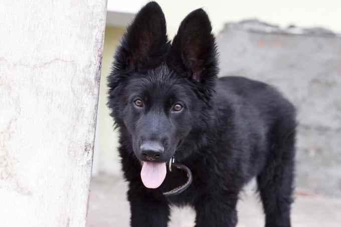 Full Black German Shepherd