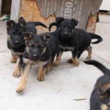 Full Blooded German Shepherd Puppies Sale