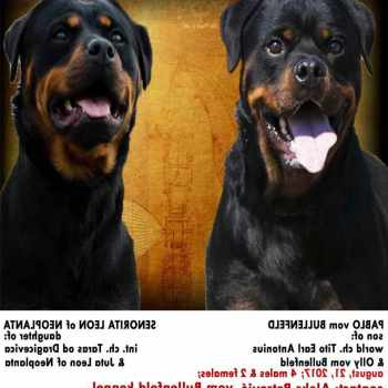 Full Blooded Rottweiler Puppies For Sale Cheap