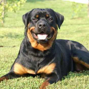 Full Blooded Rottweiler Puppies For Sale