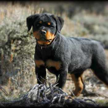 Full Breed German Rottweiler Puppies For Sale