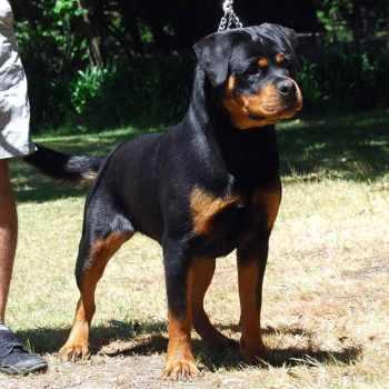 Full Breed Rottweiler For Sale