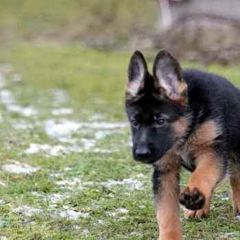 Full German Shepherd Puppies