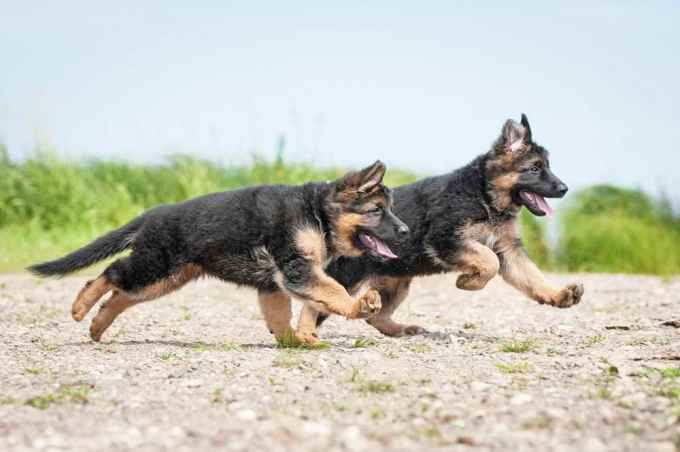 Full Grown German Shepherd