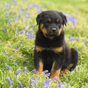 German Blockhead Rottweiler Puppies For Sale