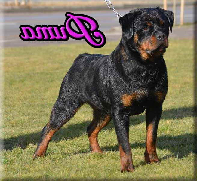 German Rottweiler Breeders Pa