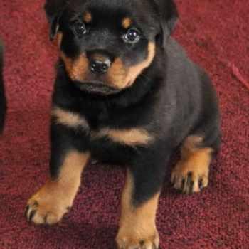 German Rottweiler Puppies For Sale Colorado