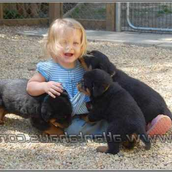 German Rottweiler Puppies For Sale In Alabama