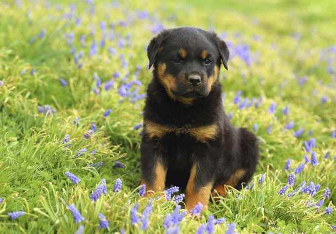 German Rottweiler Puppies For Sale Near Me