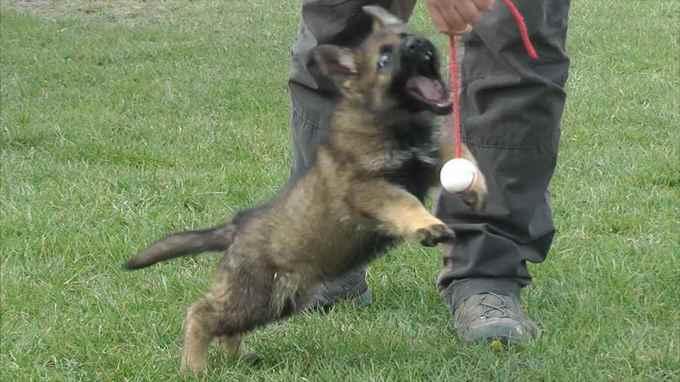 German Shepherd 8 Weeks