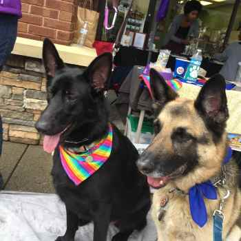 German Shepherd Adoption Atlanta