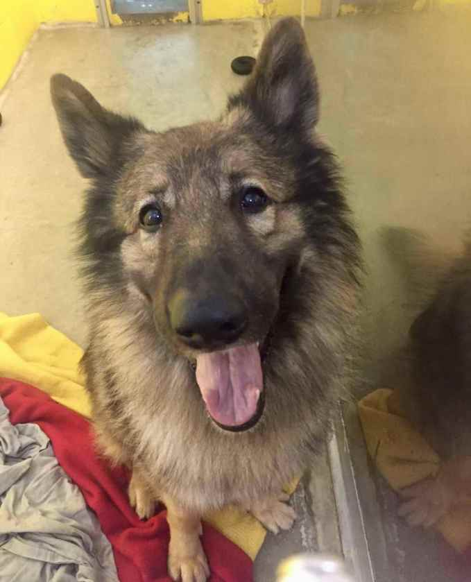 German Shepherd Adoption Ma