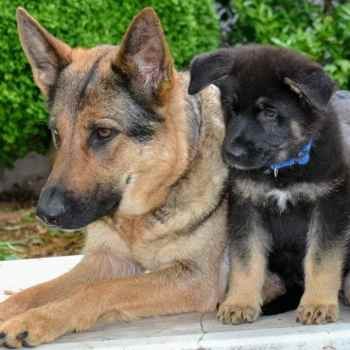 German Shepherd Adoption Maryland