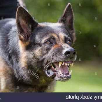 German Shepherd Aggressive Behavior