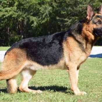 German Shepherd Akc