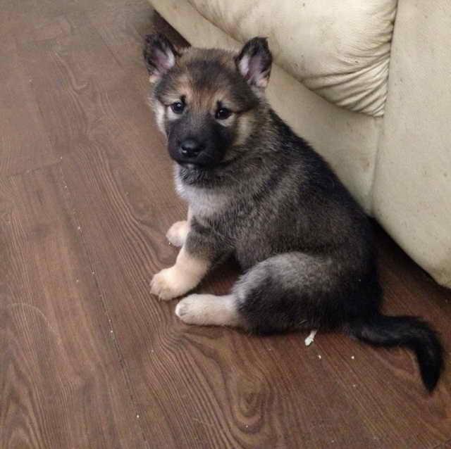 German Shepherd Alaskan Malamute Mix Puppies For Sale