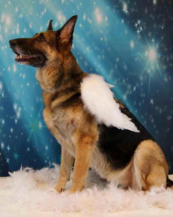German Shepherd Angel