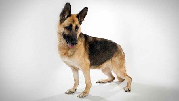German Shepherd Animal Planet