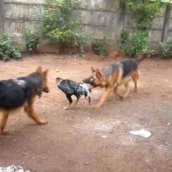 German Shepherd Attack Video