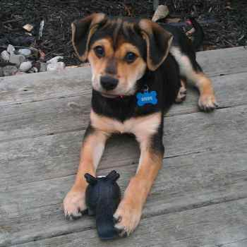 German Shepherd Beagle Mix Puppies