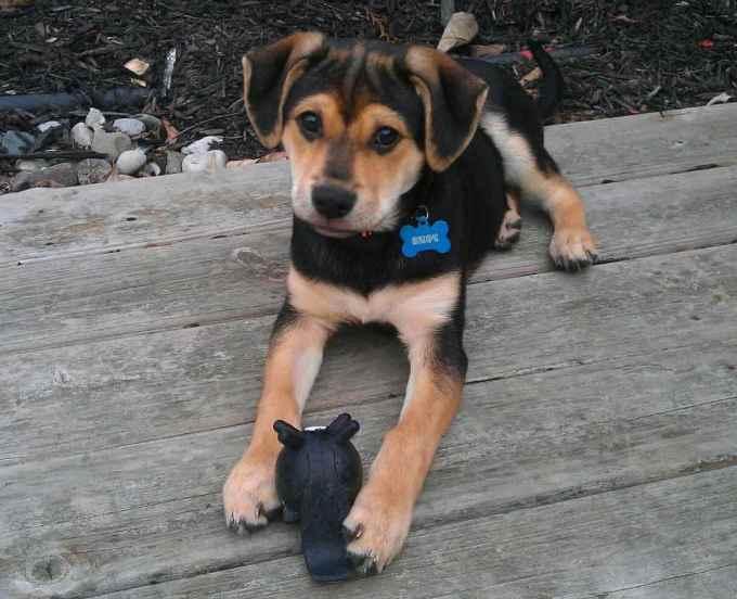 German Shepherd Beagle Mix Puppies