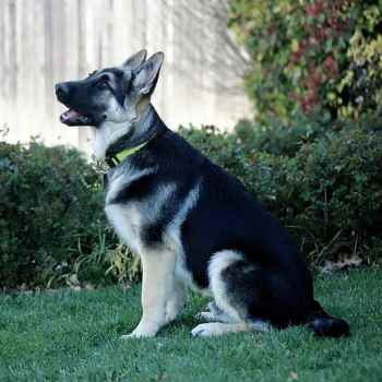 German Shepherd Black And Silver