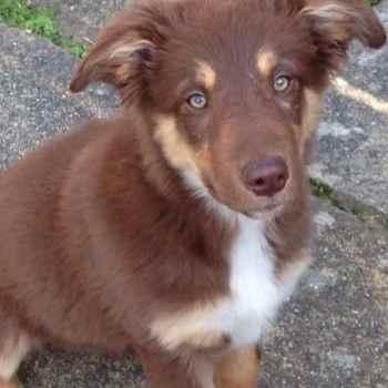 German Shepherd Border Collie Mix Puppies For Sale
