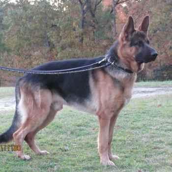 German Shepherd Breeder Sc