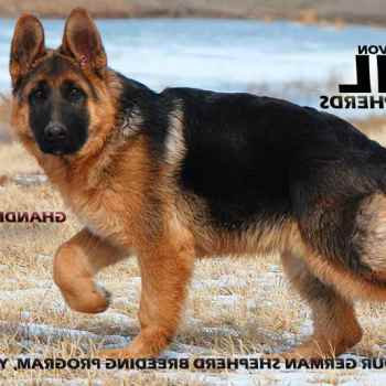 German Shepherd Breeders Colorado