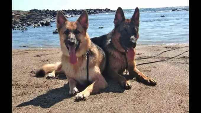 German Shepherd Breeders Hawaii