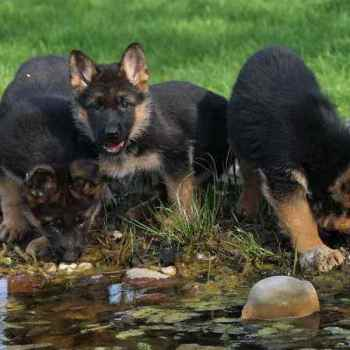 German Shepherd Breeders In Ga