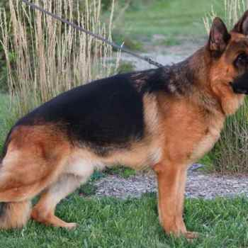 German Shepherd Breeders Mi