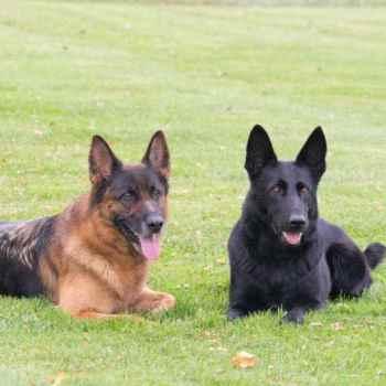 German Shepherd Breeders Ny