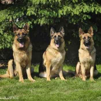 German Shepherd Breeders Ohio