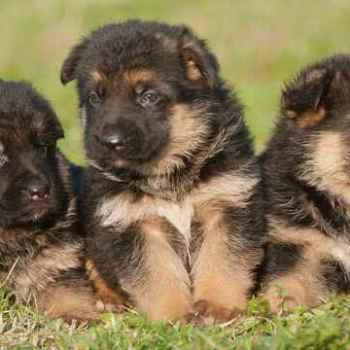 German Shepherd Breeders Phoenix Az