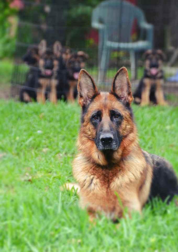 German Shepherd Breeders San Antonio