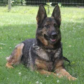 German Shepherd Breeders Tn