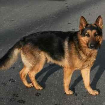 German Shepherd California